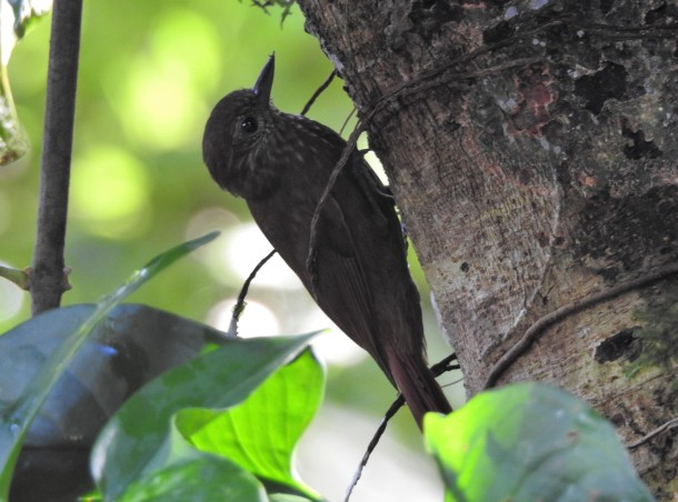 Woodcreeeper, Wedge-billed, Finca Estrella (1)