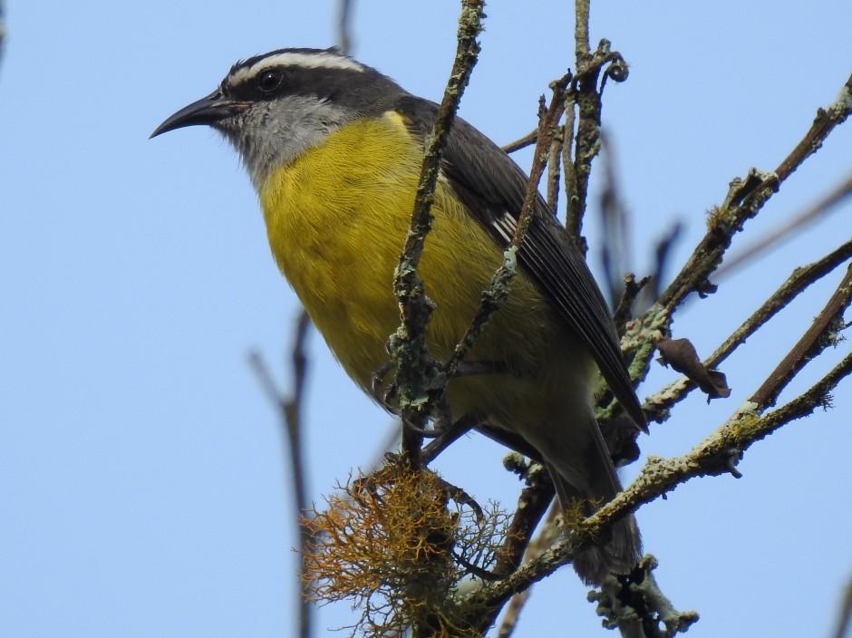 Bananaquit, Santa Rosa (2)