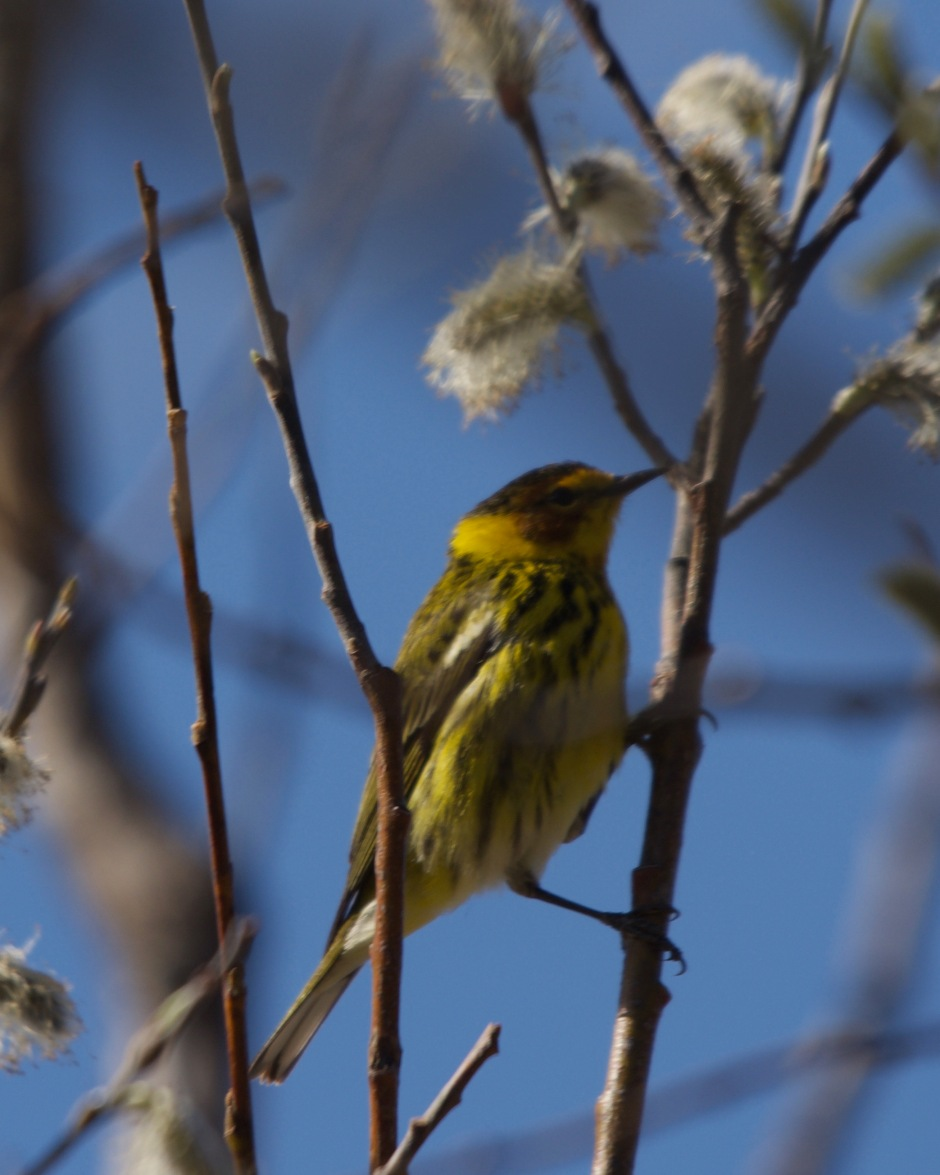 Cape May warbler Minn