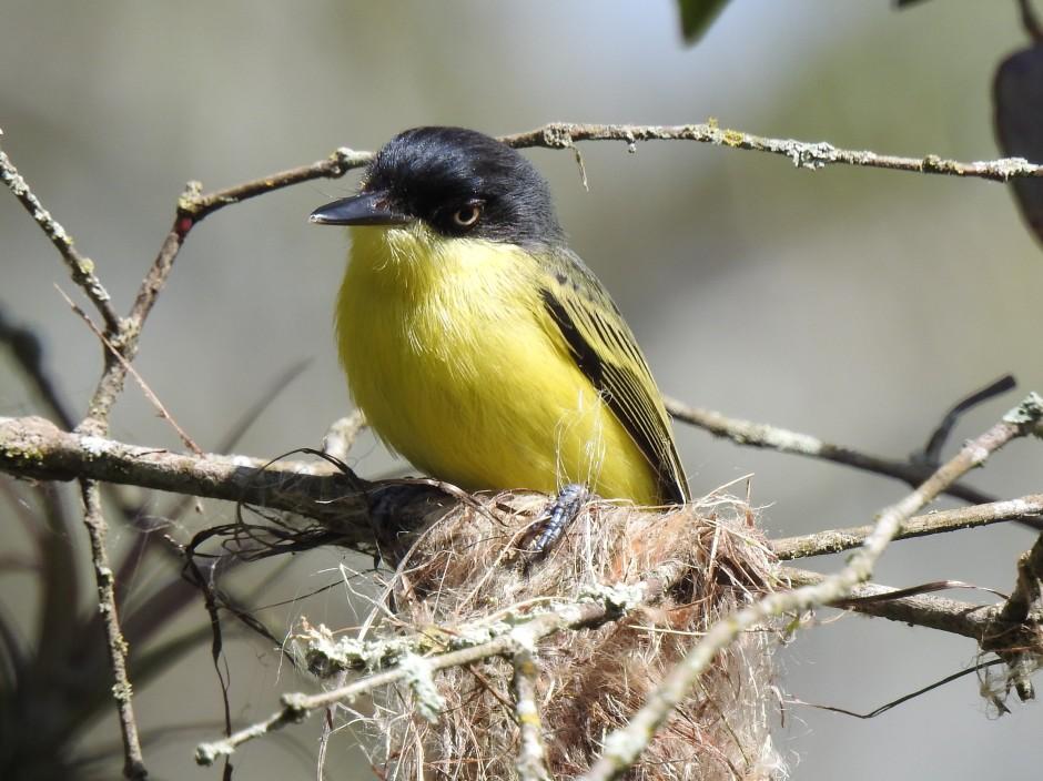 Flycatcher, Tody-, Common, nest, Santa Rosa (3)