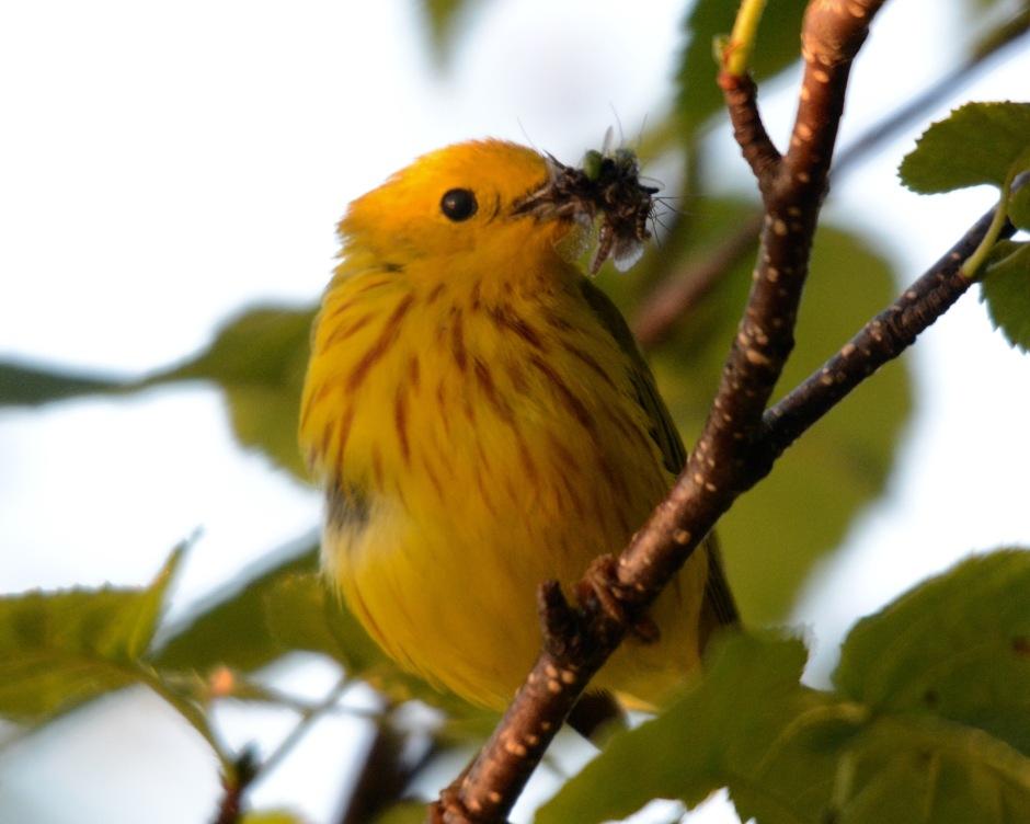 Yellow Warbler eats Minn