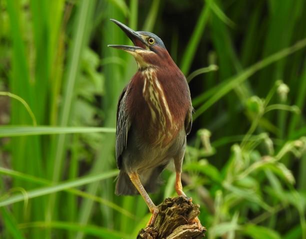 Heron, Green, Casa Turire (1)