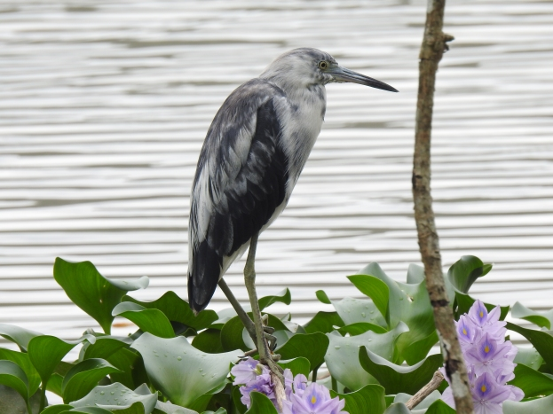 Heron, Little-blue, immature, Casa Turire