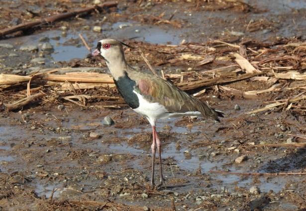 Lapwing, Southern, Angostura (1)