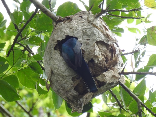 Trogon, Gartered, male nest, Angostura