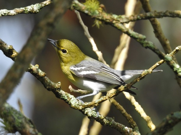 Vireo, Yellow-throated, Santa Rosa (1)