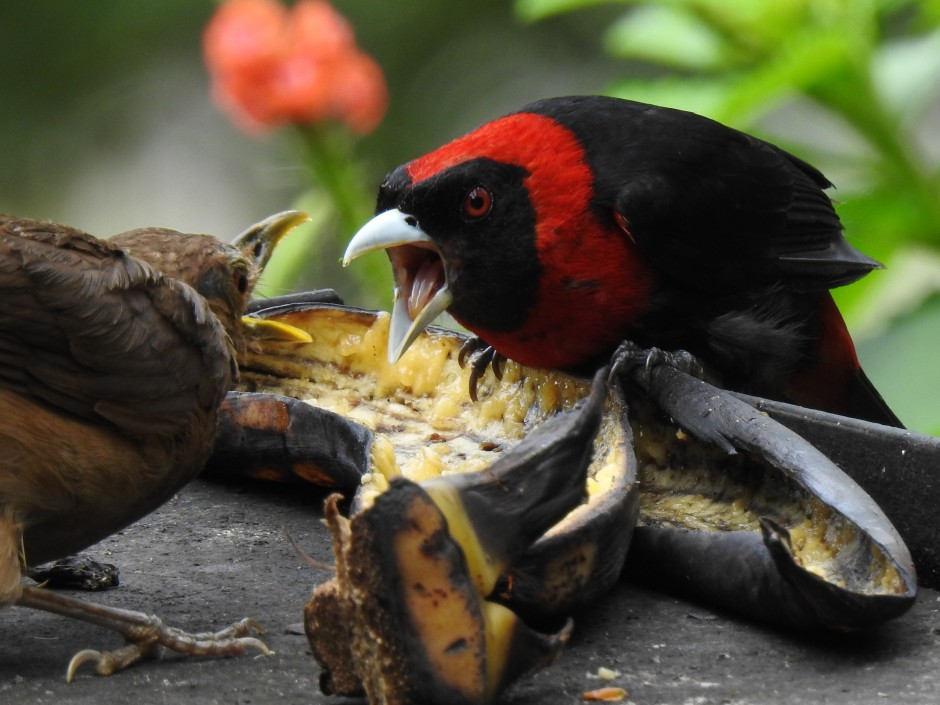 Tanager, Crimson-collared face-off Santa Rosa (28)