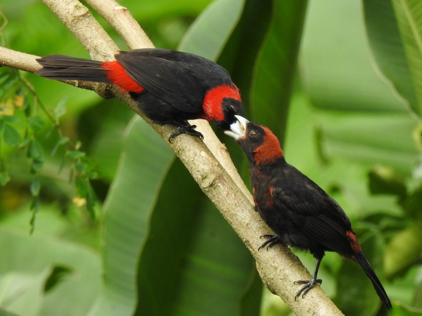 Tanager, Crimson-collared pair Santa Rosa (215)
