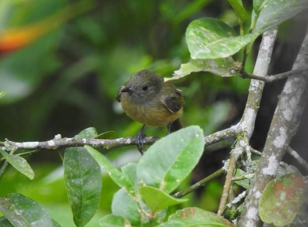 Flycatcher, Ochre-bellied Santa Rosa (32)