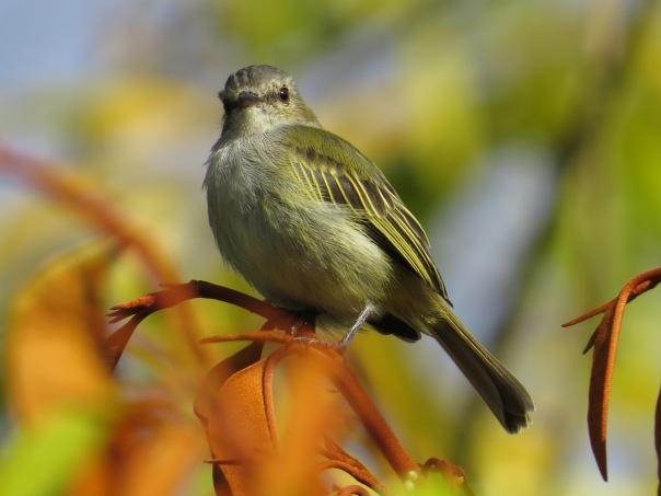Flycatcher, Tyrannulet Paltry Santa Rosa garden (4)