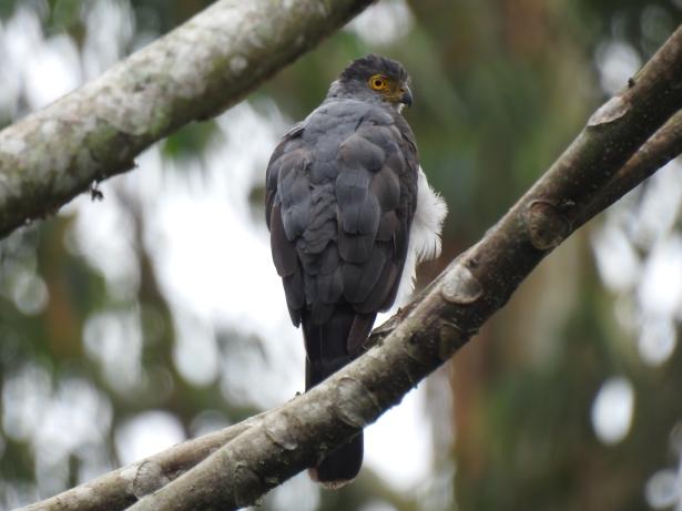 Hawk, Bicolored, back, Aquiares