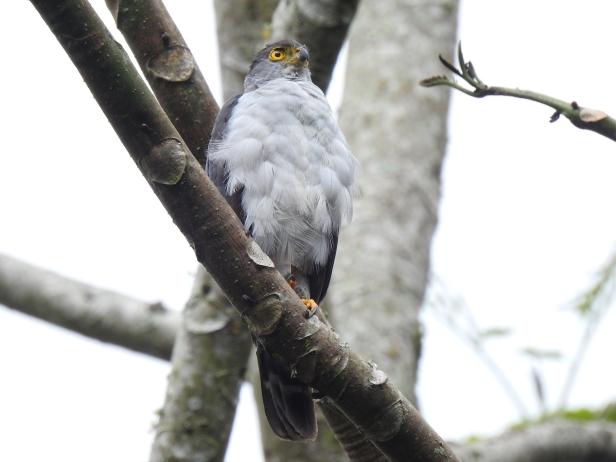 Hawk, Bicolored, front, Aquiares