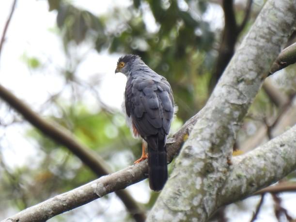 Hawk, Bicolored, rufous thigh, Aquiares