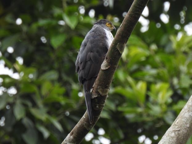 Hawk, Bicolored, side, Aquiares
