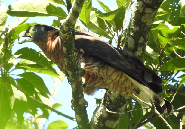 Kite, Hook-billed, female, Aquiares, Laguna (5)