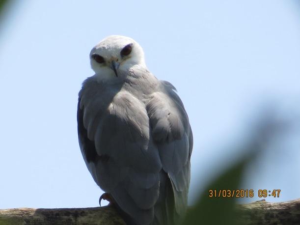 Kite, White-tailed (adult, Angostura) (1)
