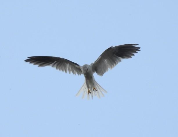 Kite, White-tailed, Santa Rosa Garden