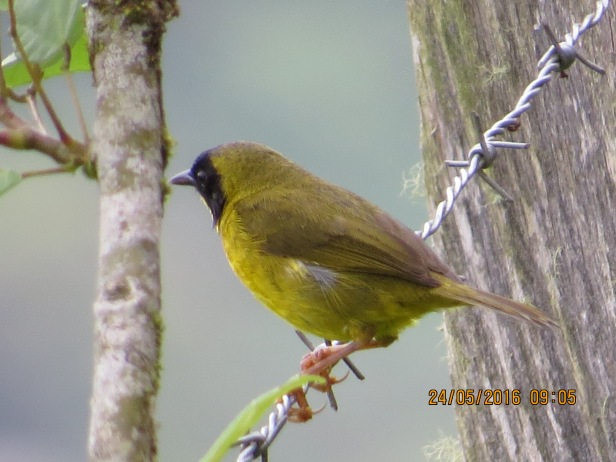 Warbler, Yellow-throat, Olive-crowned, male, Cristina, La Suiza (1300 masl) (2)