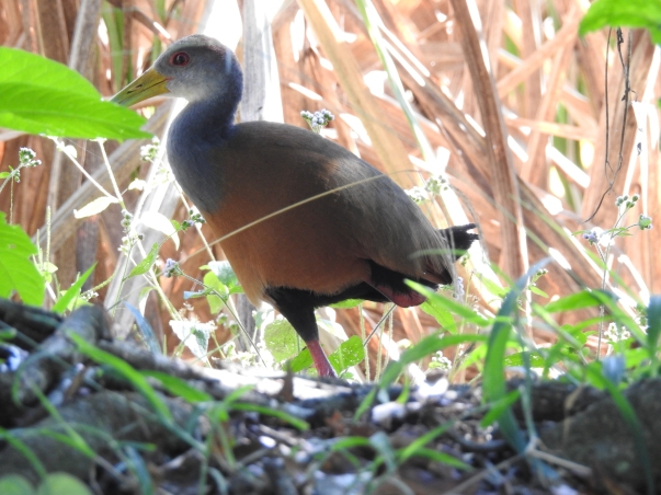 Wood-Rail, Gray-cowled, CATIE canal (3)