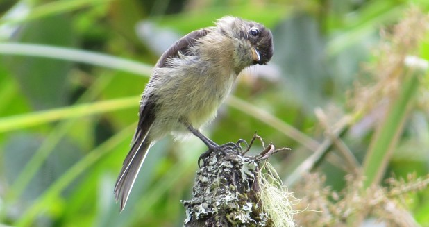 Flycatcher, Black-capped Bajos del Volcan (4-2)