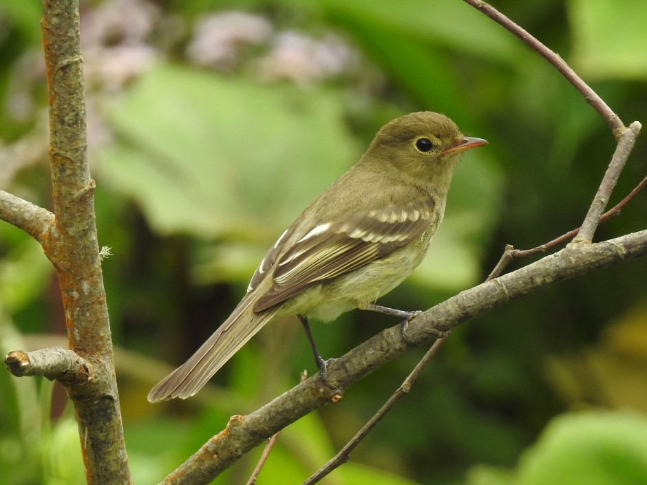 Flycatcher, Elaenia, Mountain, Volcan Turrialba (1)