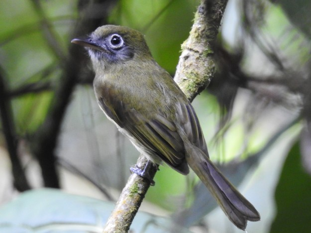 Flycatcher, Flatbill, Eye-ringed, Aquiares (1)
