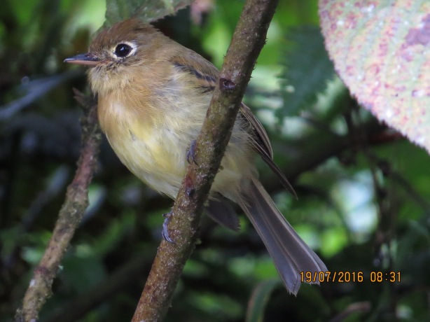 Flycatcher, Yellowish, Calle Vargas (9)