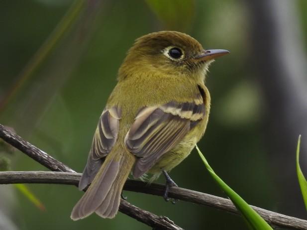 Flycatcher, Yellowish, Camino al volcan (1)