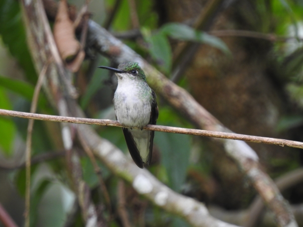 Hummingbird, Black-bellied, female, Hotel Quelitales (1)