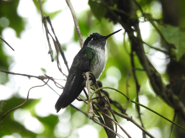 Hummingbird, Mountain-gem, White-bellied, male, Hotel Quelitales (1)
