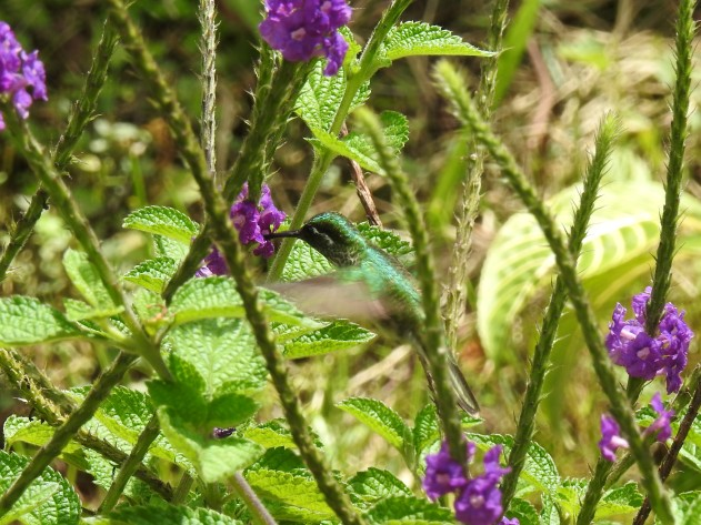 Hummingbird, Mountain-gem, White-bellied, male, Hotel Quelitales (7)