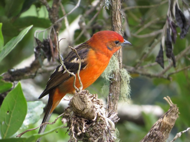 Tanager, Flame-coloured male San Gerardo de Dota (3)