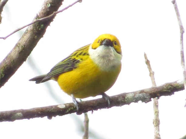 Tanager, Silver-throated Calle Vargas (2)