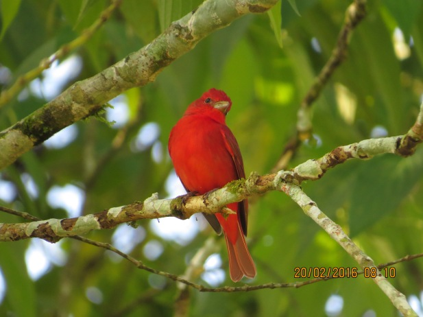 Tanager, Summer (male, CATIE) (2)