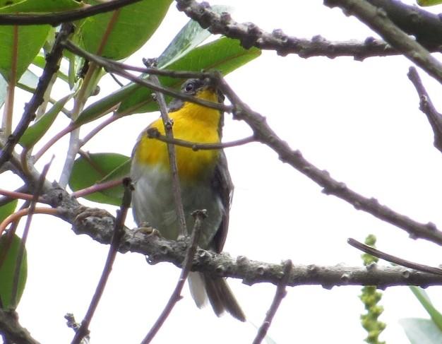 Warbler, Flame throated (Turrialba variety) Bajos del Volcan (3)