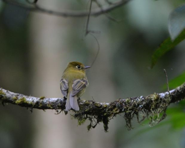 Yellowish Flycatcher Las Truchas