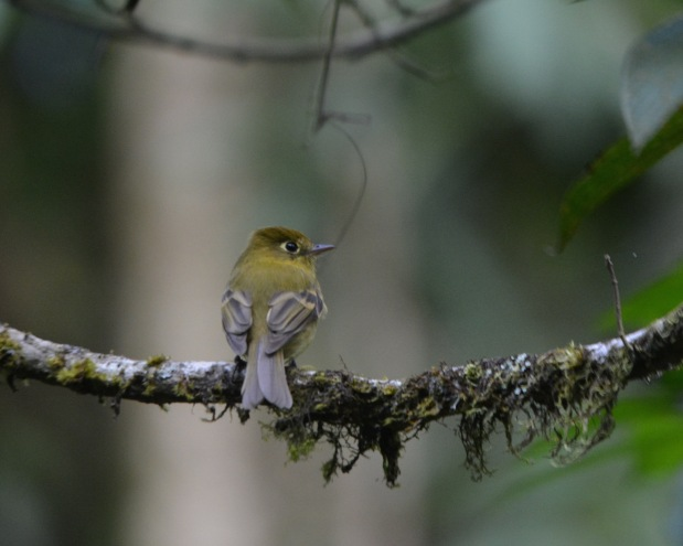 Yellowish Flycatcher Las Truchas