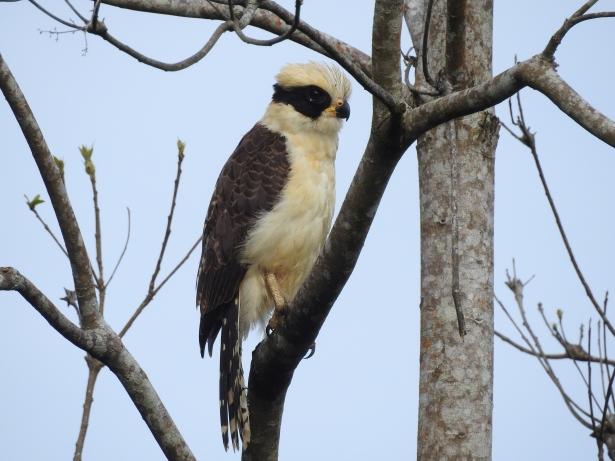 Falcon, Laughing, Corozal, Rio Pacuare (3)