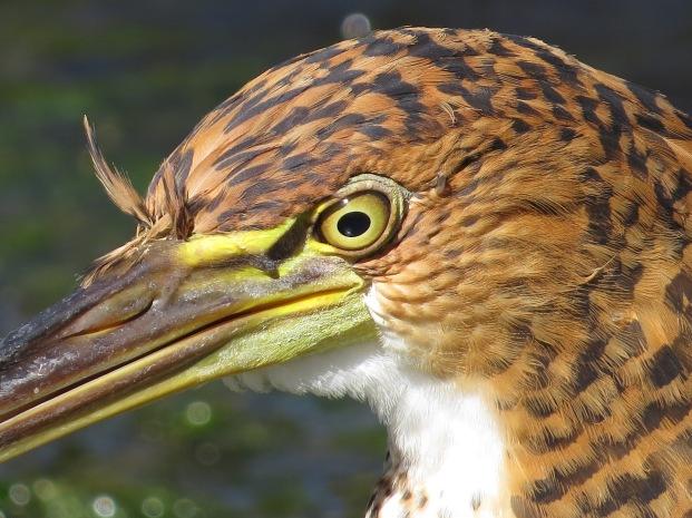 Fasciated Tiger-Heron facial