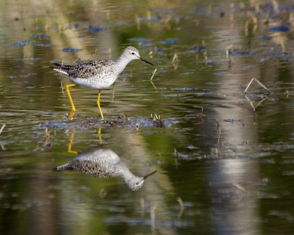 Lesser yellowlegs, Minnesota