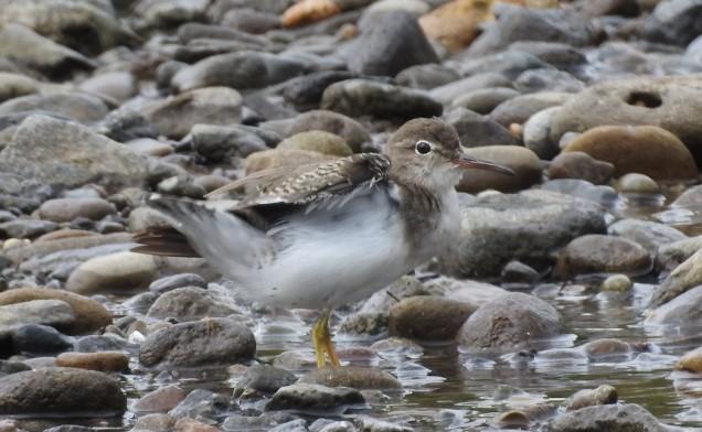 Sandpiper, Spotted, Atirro (4)