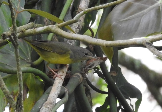 Warbler, Mourning, CATIE, Canal (3)