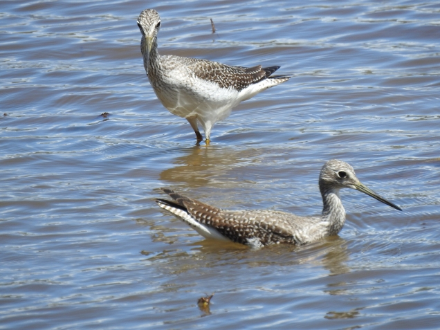 Yellowlegs, Angostura (1)