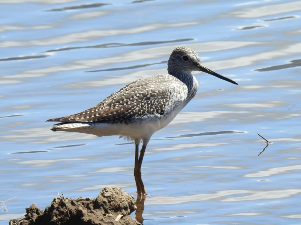 Yellowlegs, Angostura (6)