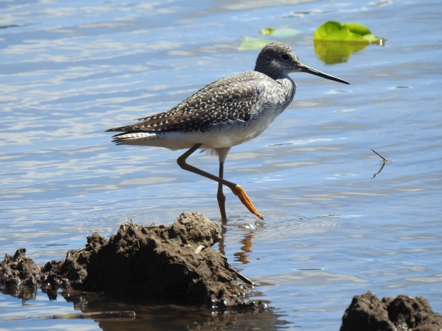 Yellowlegs, Angostura (7)