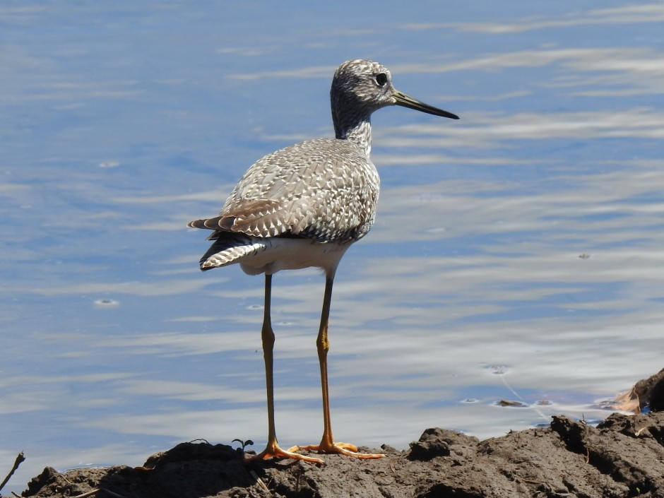 Yellowlegs, Angostura (8)